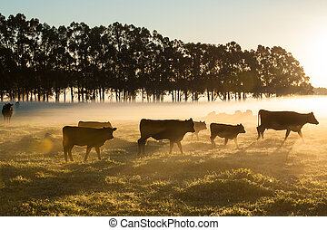 On the Move in the Dawn - Brown cattle in golden glow of...