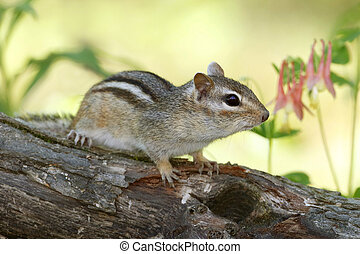 Eastern Chipmunk and Wild Columbine - Eastern chipmunk...
