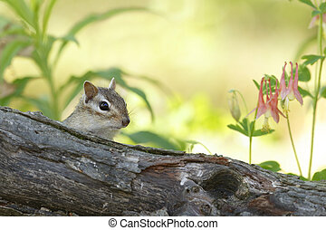 Eastern Chipmunk Peering Over a Log in Spring - Eastern...