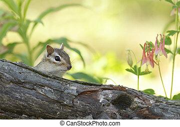 Eastern Chipmunk Peering Over a Log in Spring - Eastern...