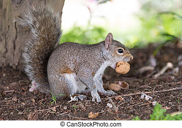 close-up of a gray squirrel while eating a nut