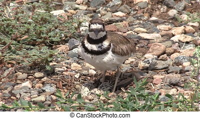 Killdeer Protecting Nest - a killdeer protecting her nest...