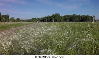 Stipa grass West Siberian Plain - Omsk region in West...