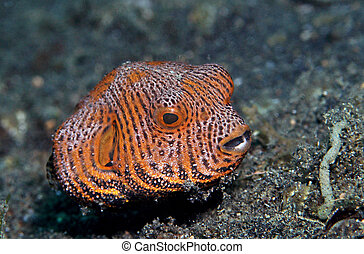 juvenile map puffer fish - (Arothron mappa) Inhabits coral...