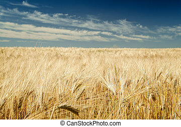 trigo, azul, cielo,