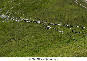 Herd of Sheep - Flock of sheep in the Carpathian mountains