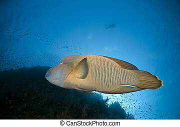 napoleon wrasse and ocean