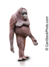 Orang Utan standing isolated - A portrait of an Orang Utan...