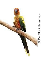 conure, nap, madár, Papagáj