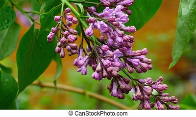After rain - Flowers and leaves of lilac with raindrops