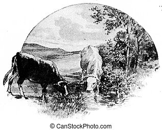 The cow eats grass and clover from the meadow, drinks water...