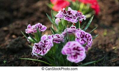 Carnation flower - Vviolet-pink carnation flowers on nature,...