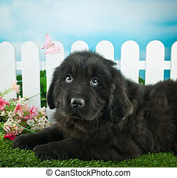 Spring Puppy - Very cute Newfoundland puppy laying in the...