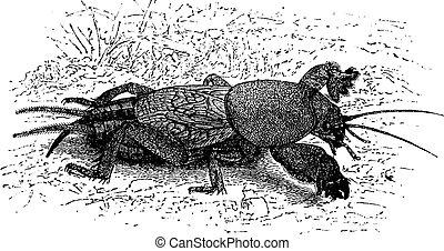 Mole-cricket, vintage engraving.