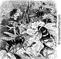 Bee, vespa crabro, wasp, drone, vintage engraving - Bee,...