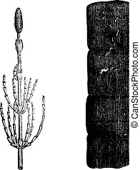 Plants of the Devonian period, Equisetum, vintage engraving....