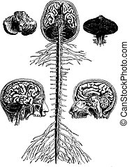 Encephala and spinal cord, brain, longitudinal section of the head, cerebellum, vintage engraving.