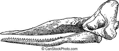 Sperm whale skull, vintage engraving - Sperm whale skull,...