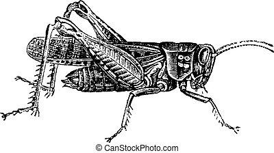 Locust, vintage engraving. - Locust, vintage engraved...