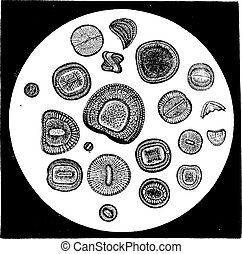 Various forms of diatoms, vintage engraving. - Various forms...