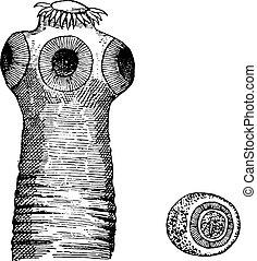 tête, de, taenia, solium, vendange, engraving.,