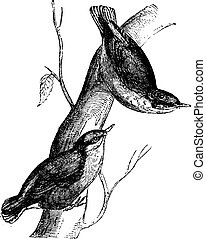 Nuthatch, vintage engraving - Nuthatch, vintage engraved...