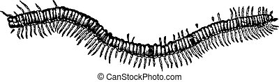 Fossil centipede Euphoberia Brownii found in the coalfield...
