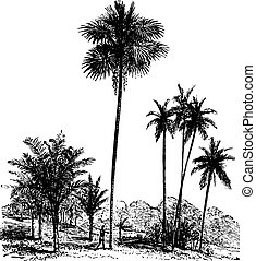 Sago, Ordinary palm tree, Areca catechu, vintage engraving....