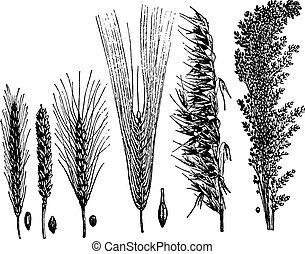Cereals, vintage engraving. - Cereals, vintage engraved...