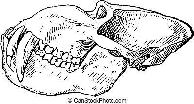 Mandrill baboon skull, vintage engraving. - Mandrill baboon...