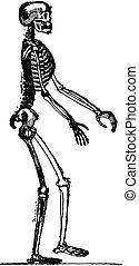 Skeleton of man, vintage engraving.