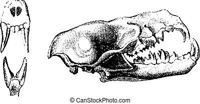Vampire skull, vintage engraving.