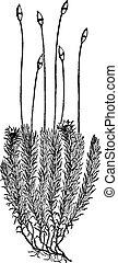 Polytrichum commune (Moss), vintage engraving. - Polytrichum...