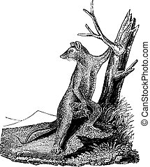 Opossum, vintage engraving. - Opossum, vintage engraved...
