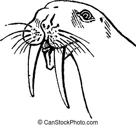 Walrus head, vintage engraving.