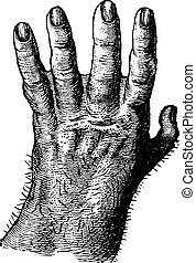 Gorilla hand, vintage engraving.