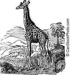 Giraffe, vintage engraving - Giraffe, vintage engraved...