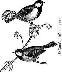 Tit or Chickadees or Titmice, vintage engraving - Tit or...