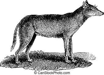 Wolf, vintage engraving.