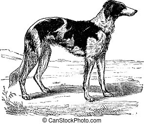 Greyhound, vintage engraving.