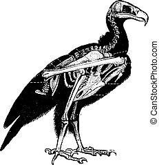 Vulture skeleton, vintage engraving.
