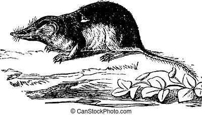 Shrew or shrew mouse, vintage engraving. - Shrew or shrew...