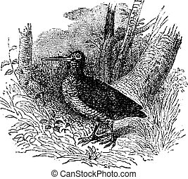 Woodcock, vintage engraving - Woodcock, vintage engraved...