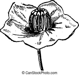Flower Kalmia, vintage engraving. - Flower Kalmia, Stamens...
