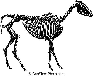 Fossil skeleton of a hipparion, vintage engraving. - Fossil...