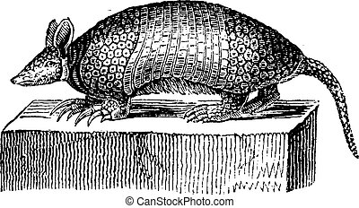 Giant armadillo, vintage engraving - Giant armadillo,...