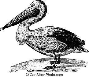 Pelican, vintage engraving. - Pelican, vintage engraved...