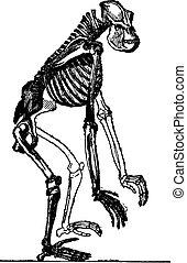 Skeleton of gorilla, vintage engraving.