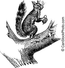 Ordinary squirrel, vintage engraving. - Ordinary squirrel,...
