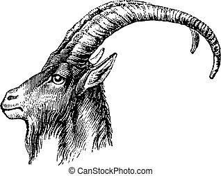Ibex head, vintage engraving.
